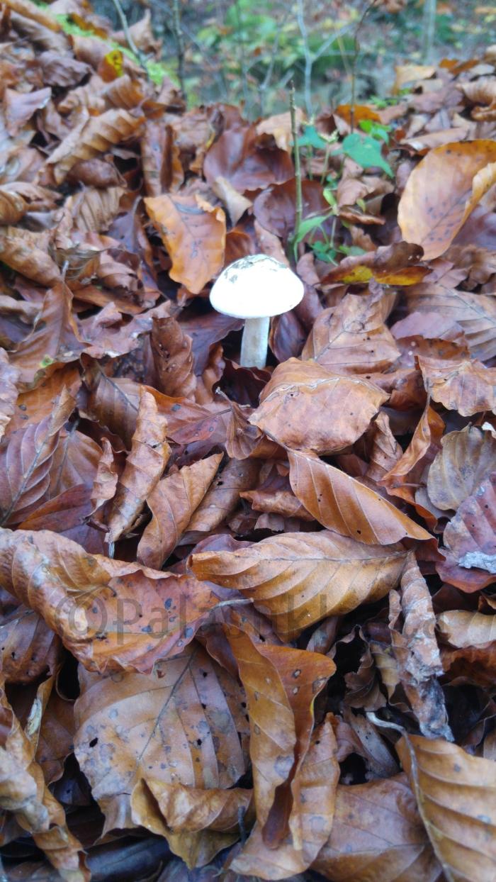 yksinainen-sieni