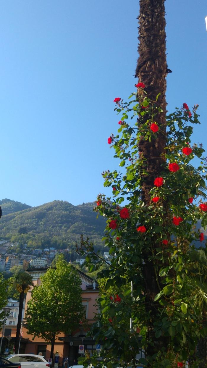 locarno kiinan ruusut