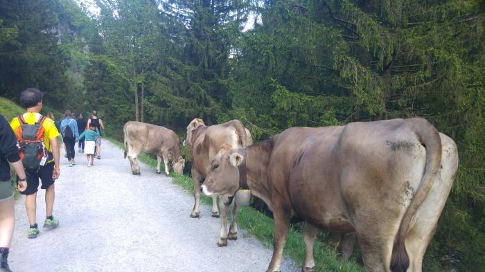 seealpsee lehmiä tiellä 17