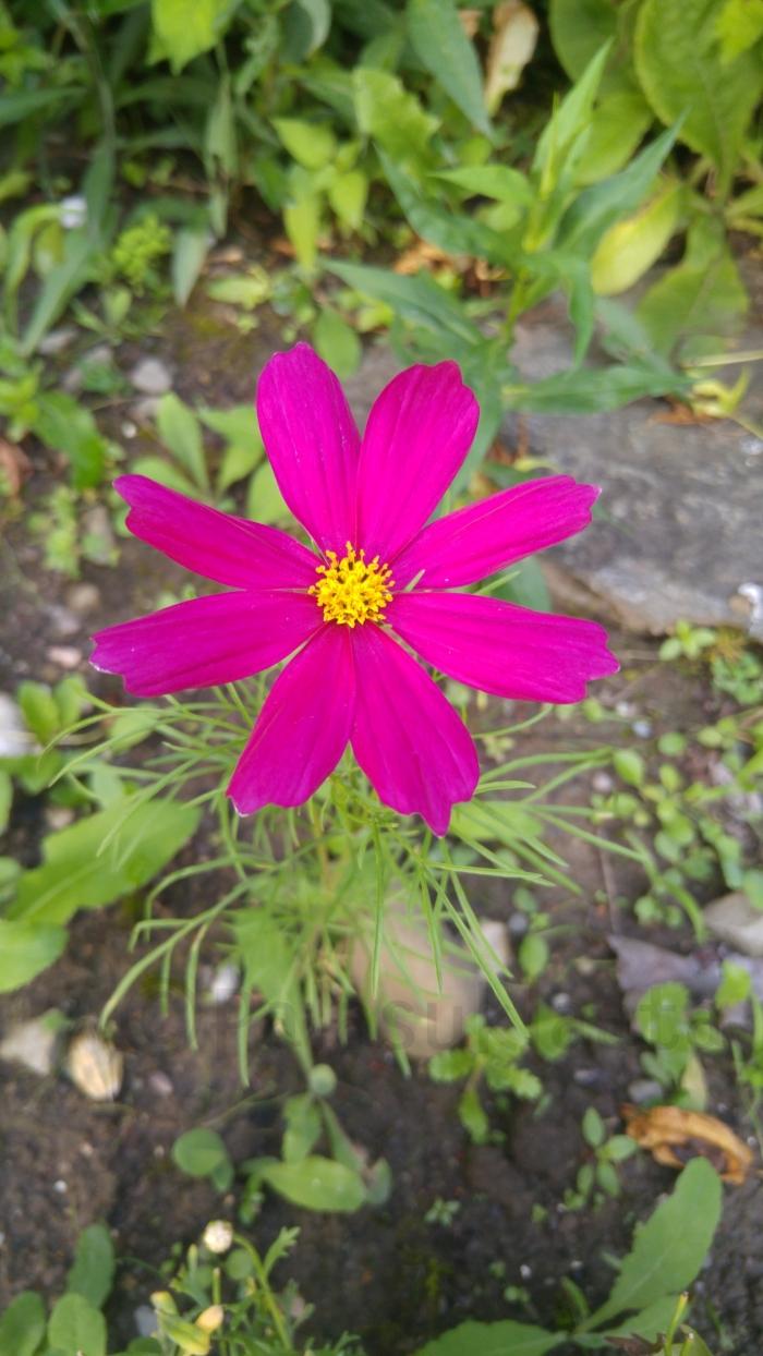 sveitsissä kasvava kukka