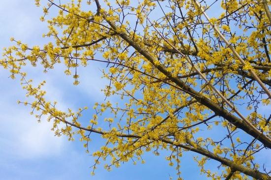 keltainen puu oksat p