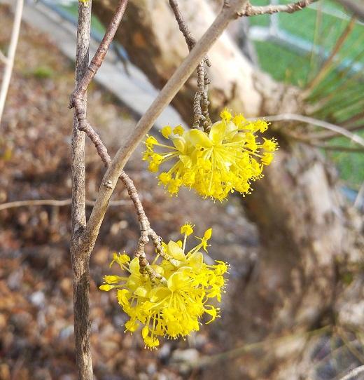 keltainen puun kukka p