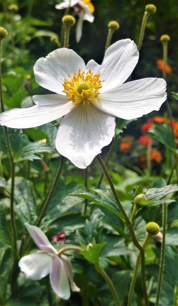 kesäblogi 3 kedon kukka p