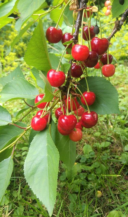 kesäblogi 4 kirsikat p