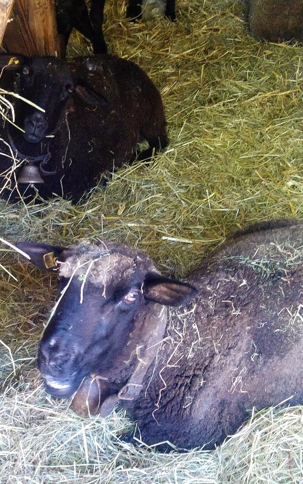 rast konsertti 17 lammas p