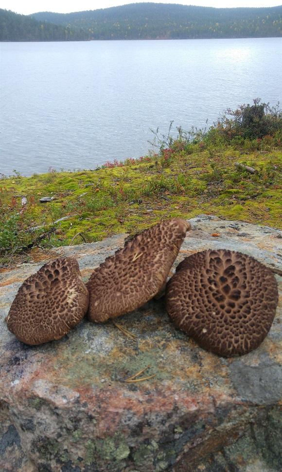 ivalo 16 sienet kivellä